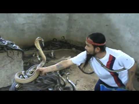 Amazing Snake Man Slaps Cobras On The Head! Cobras Fear Him!