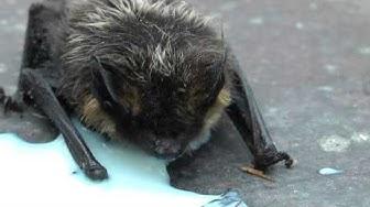 Lepakko Suomessa / Bat in Finland 2013