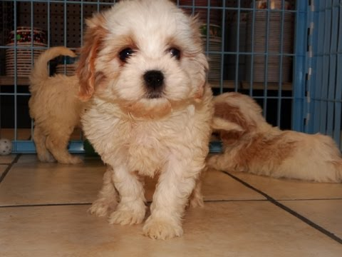 CavaChon, Puppies, Dogs, For Sale, In Nashville, Tennessee ...