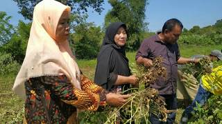 JEMBATAN PATAH, Tetapi Monitoring Panen Kacang Tanah Petani Kecamatan Bubon Tetap Kami Lanjutkan!