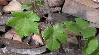 видео Пересадка винограда