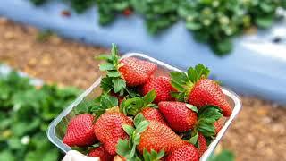 Ex-farm supervisor charged over Australia strawberry sabotage