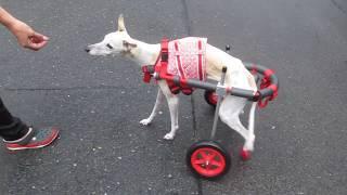 「はな工房」の犬用車椅子です。 岐阜県のウィペット サブリナちゃんの...