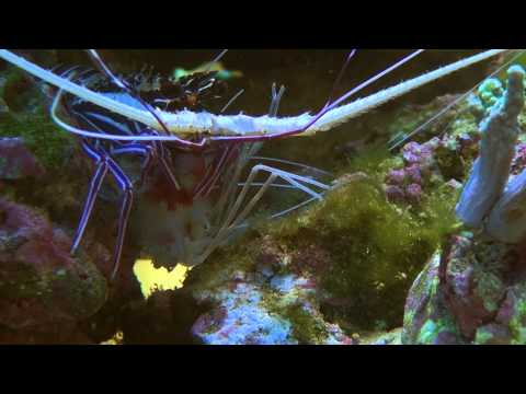 Painted Spiny Lobster Killing And Eating Coral Shrimp