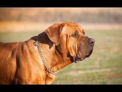 معلومات عن كلب التوسا اينو !! tosa inu dog breed 101