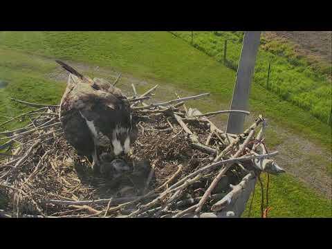 Osprey Nest - Charlo Montana Cam 06-06-2017 08:11:14 - 09:11:14