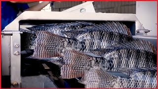 Amazing Tilapia Farm - Tilapia Fish Harvesting technology - Automatic Fish Processing Line Machine
