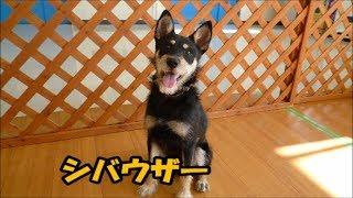 可愛い柴犬のミックス犬をたくさん紹介します。 名前は今回も勝手につけ...