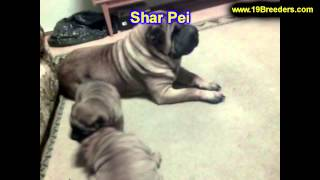 Sharpei, Puppies, For, Sale, In, South Bend, Indiana, County, In, Allen, Hamilton, St  Joseph, Vande