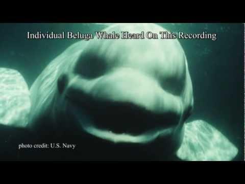 White Whale Speaks Human | Video