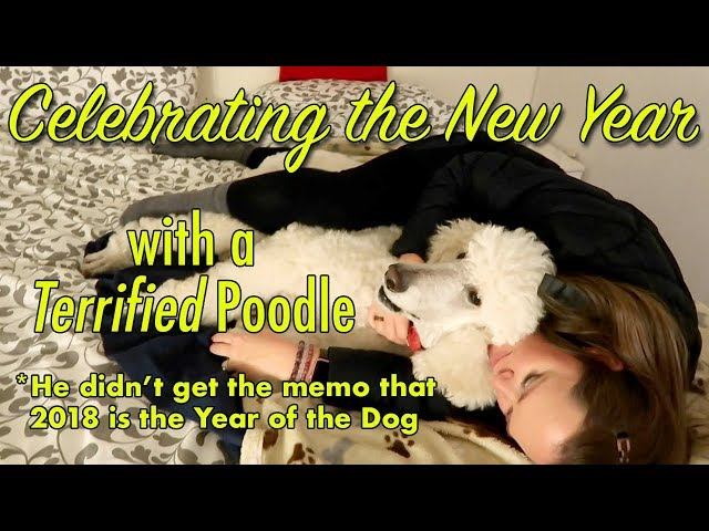 Celebrating the New Year with a Terrified Poodle