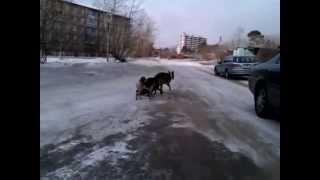 Пес на жесткой сцепке =)