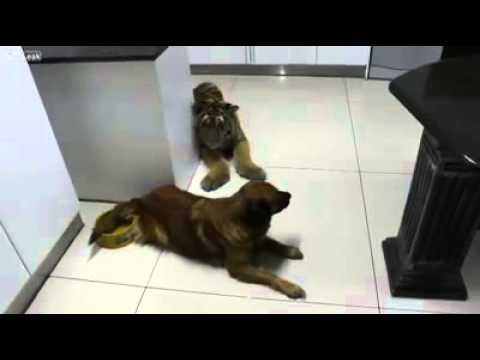 Lion Scared Of Dog - ' In This House I'm The Boss '