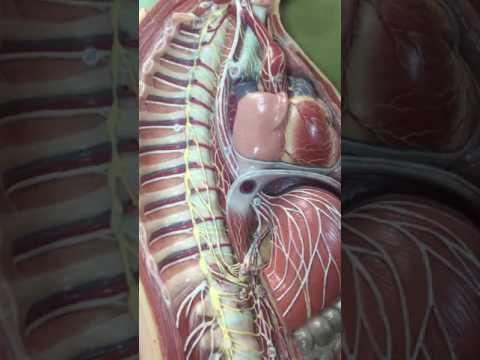 Otonom Sinir Sistemi Anatomisi