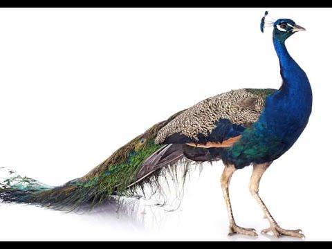 Bird Name- Peacock