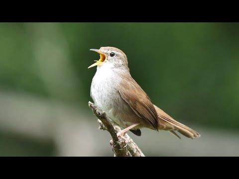 Canto di Usignolo di fiume (Cettia cetti) -song-