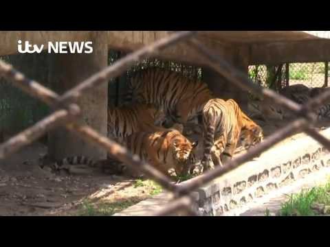 Tiger bone wine 'fuelling illegal wildlife trade', ITV News finds
