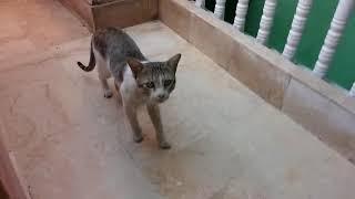 funny-animal-videos-khatrnaak-bili-cato