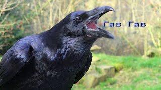 Ворона это птица или кто | Как наш ворон гавкает как собака