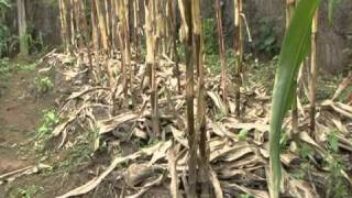 Using conservation agriculture to help Zimbabwe's farmers produce more