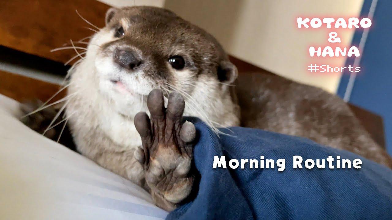 ぽっちゃりカワウソハナのモーニングルーティン Otter Morning Routine #Shorts