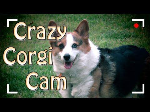 Crazy Corgi Cam - Corie Goes Outside 1