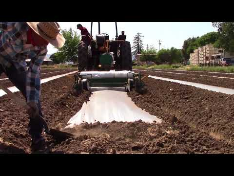 Laying Plastic For Soil Solarization