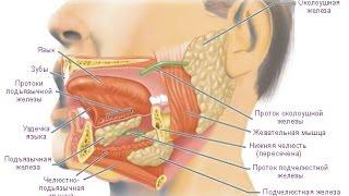 Пищеварение в ротовой полости. Биология 8 класс.(Видеоурок по теме