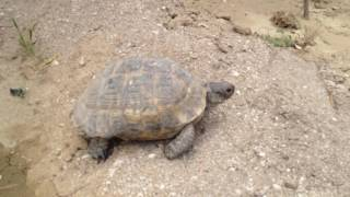 Russian tortoise may 2017 Azerbaijan