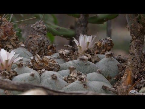 """Peyote, cactus """"de los dioses"""""""