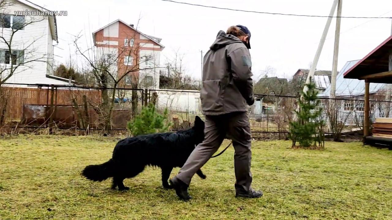 Немецкая овчарка Лада: учим не тянуть поводок