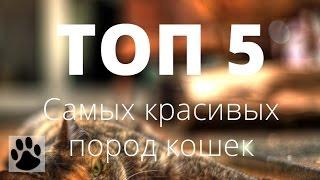 ТОП 5 самых красивых пород кошек