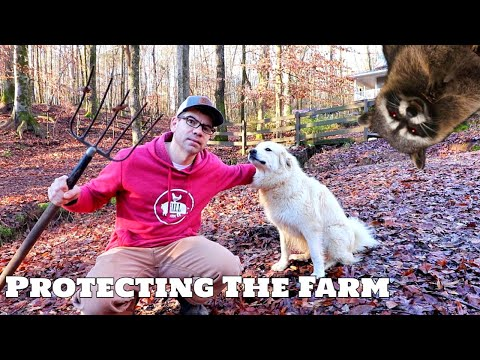 How We PROTECT The Farm From Predators! Hawks, Coyotes, Foxes, Coons, Possums!