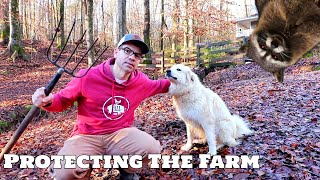 Download How We PROTECT The Farm From Predators! Hawks, Coyotes, Foxes, Coons, Possums! Mp3 and Videos