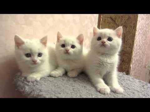 шотландские котята. Белые котики страйтики