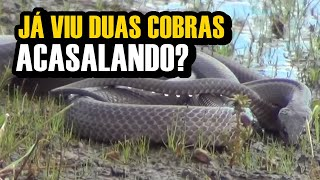 SERPENTES SE ACASALANDO NA PRÓPRIA NATUREZA CASAL DE MUÇURANAS VIDEO 01