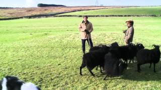 One Woman And Her Dog: A Sheepdog Handling Course In Cumbria
