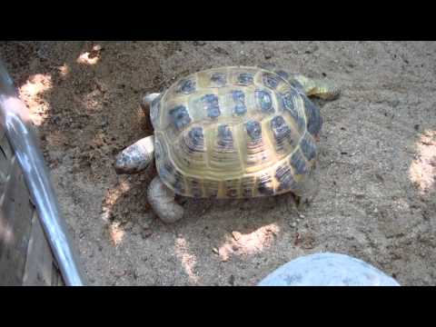 Russian tortoise outdoor enclosour - last update before vacation