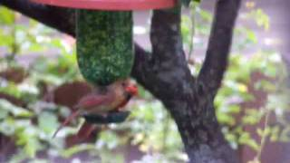Both Cardinals At Feeder  So Cute!!!