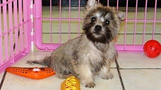 Cairn Terrier, Puppies, For, Sale, In, Sacramento, California, Ca, El Monte, Berkeley, Vallejo, Sant