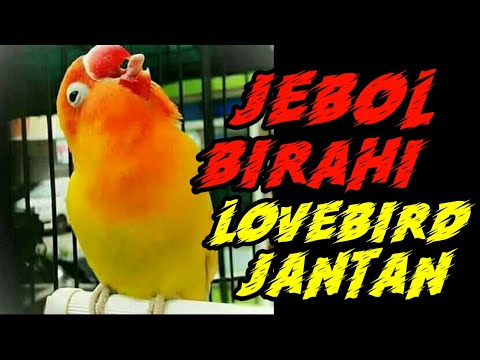 Cara Jebol Birahi Lovebird Jantan Step By Step Mudah Dipahami Youtube