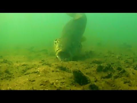 Trout On The Attack | Cape Cod April 2020