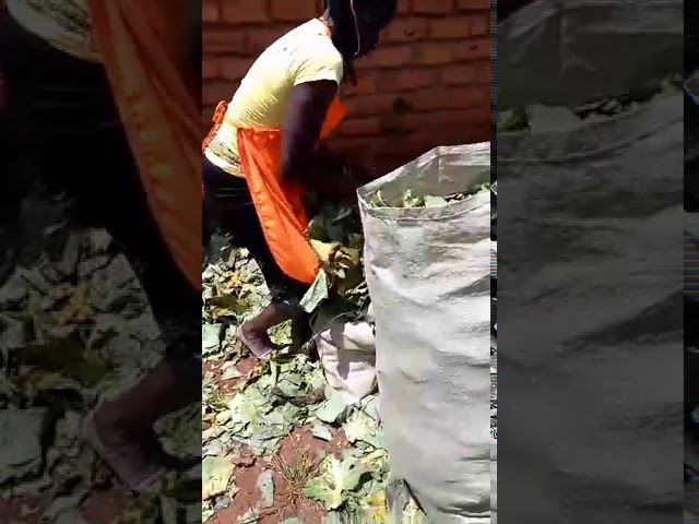 Kenyan Brethren Collenting Cabbage for Goats in Siaya Kenya