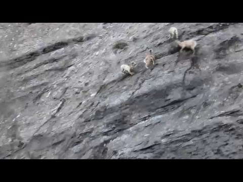 Bighorn sheep lambs in Yellowstone
