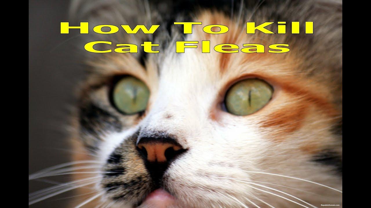 best way to kill fleas on cats