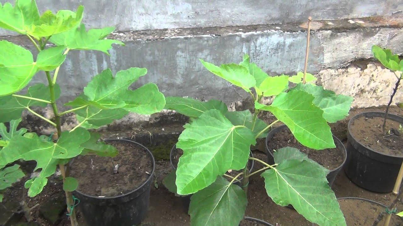 15 Varieties of Fig Trees (15 Varietas buah tin) - YouTube