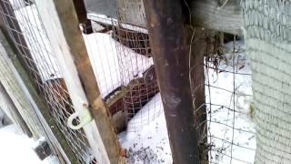 кролики в вольере зимой на самообеспечении