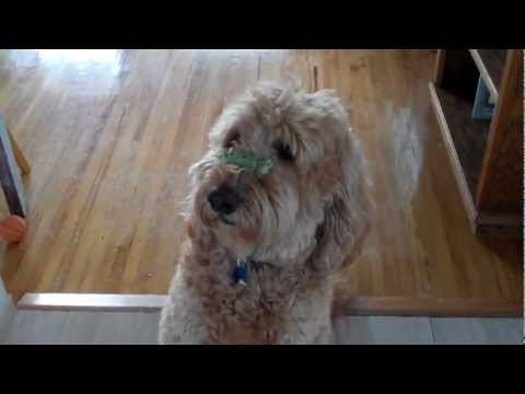 Most Patient Goldendoodle Ever - I Love Leo