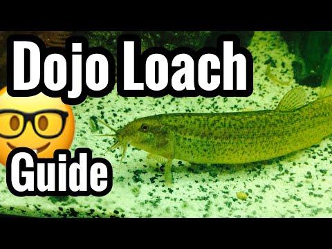 Dojo Loach Fish Tank Care, Size & Tank Mates?