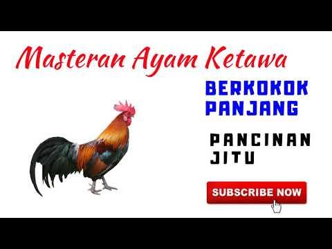 Masteran Ayam Ketawa Durasi Panjang  Bukan Ayam Pelung | Kokok Ayam Ketawa Kuntilanak MP3
